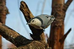 Pica-pau-cinzento Branco-breasted Imagem de Stock