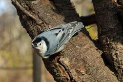 Pica-pau-cinzento Branco-breasted Fotografia de Stock