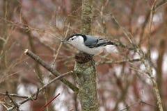 Pica-pau-cinzento Branco-breasted Imagens de Stock