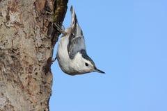 Pica-pau-cinzento Branco-breasted Fotos de Stock Royalty Free