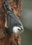 Pica-pau-cinzento Branco-breasted Foto de Stock