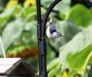 Pica-pau-cinzento branco de Breasted fotos de stock royalty free