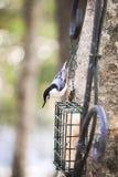 Pica-pau-cinzento branco de Breasted Foto de Stock