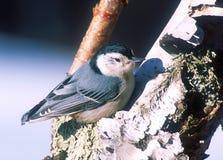 Pica-pau-cinzento branco de Breasted na árvore de vidoeiro Foto de Stock