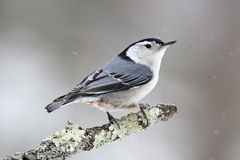 Pica-pau-cinzento do inverno Imagem de Stock
