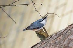Pica-pau-cinzento do pássaro Imagens de Stock Royalty Free