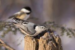 Pica-pau-cinzento e Chickadee Fotos de Stock Royalty Free
