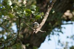 Pica-pau-cinzento em um ramo fotos de stock