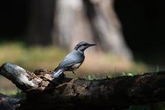 Pica-pau-cinzento em um tronco de árvore imagens de stock