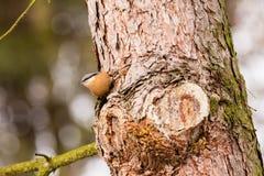 Pica-pau-cinzento euro-asiático - europaea do Sitta Foto de Stock