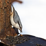 Pica-pau-cinzento, europaea do Sitta Imagem de Stock