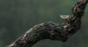 Pica-pau-cinzento (europaea do Sitta) Fotografia de Stock