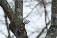 Pica-pau-cinzento na árvore imagem de stock royalty free
