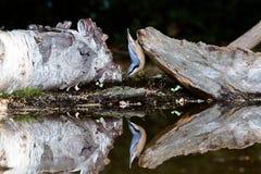 Pica-pau-cinzento no dobro Imagem de Stock Royalty Free