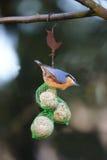Pica-pau-cinzento o pardal colorido Imagens de Stock