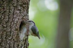 Pica-pau-cinzento perto do ninho na cavidade do carvalho Europaea do Sitta do pássaro do passerine da floresta na mola Foto de Stock Royalty Free