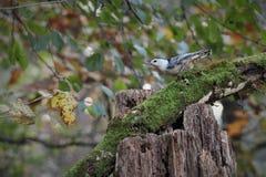 Pica-pau-cinzento que alimenta em um coto fotos de stock