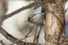 Pica-pau-cinzento que senta-se no tronco do inverno de pedra do vidoeiro Imagem de Stock