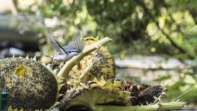 Pica-pau-cinzento que tem o jantar imagem de stock royalty free