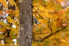 Pica-pau-cinzento que toma uma caminhada abaixo de um tronco de árvore Foto de Stock Royalty Free