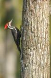 Pica-pau de Pileated que escala uma árvore imagem de stock