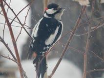 Pica-pau do pássaro nos animais selvagens Imagens de Stock