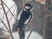 Pica-pau do pássaro nos animais selvagens Fotografia de Stock Royalty Free