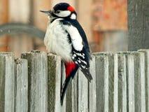 Pica-pau do pássaro nos animais selvagens Imagens de Stock Royalty Free