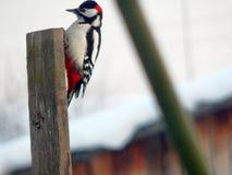 Pica-pau do pássaro nos animais selvagens Foto de Stock Royalty Free