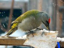 Pica-pau do pássaro nos animais selvagens Fotos de Stock