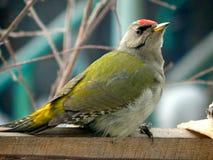 Pica-pau do pássaro nos animais selvagens Imagem de Stock