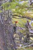 Pica-pau em Forest Pecking Tree, Patagonia, Argentina imagem de stock royalty free