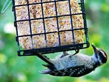 Pica-pau em um alimentador Fotografia de Stock Royalty Free