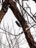 Pica-pau em uma árvore congelada foto de stock