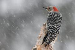 Pica-pau em uma tempestade do inverno fotografia de stock royalty free
