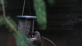 Pica-pau fêmea da cintilação que come do alimentador de suspensão no verão vídeos de arquivo