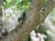 Pica-pau fofo fêmea em uma árvore Fotos de Stock