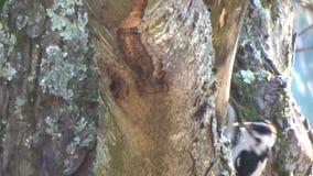 Pica-pau fofo pequeno ativo que alimenta em uma árvore vídeos de arquivo