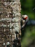 Pica-pau inchado vermelho na cabeça da árvore de cabeça para baixo Fotografia de Stock Royalty Free