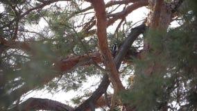 Pica-pau no tronco de um pinho video estoque