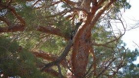 Pica-pau no tronco de um pinho filme