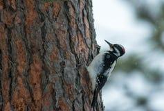 Pica-pau peludo em um pinheiro Foto de Stock