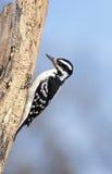 Pica-pau peludo fêmea (villosus do Picoides) Imagem de Stock Royalty Free