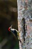 Pica-pau Preto-cheeked Fotografia de Stock
