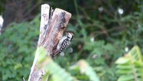Pica-pau que bica na árvore velha filme