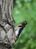 Pica-pau que senta-se em uma árvore que come o inseto Fotografia de Stock Royalty Free