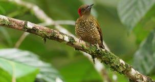 pica-pau Rufous-voado - pássaro simples de Piculus no Picidae da família filme