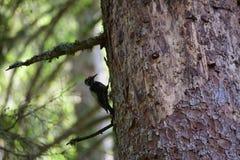 pica-pau Três-toed que procura o alimento foto de stock