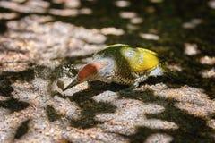 Pica-pau verde europeu Imagem de Stock