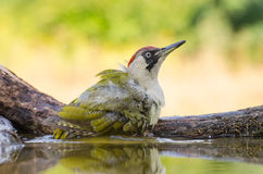 Pica-pau verde europeu - viridis do Picus foto de stock